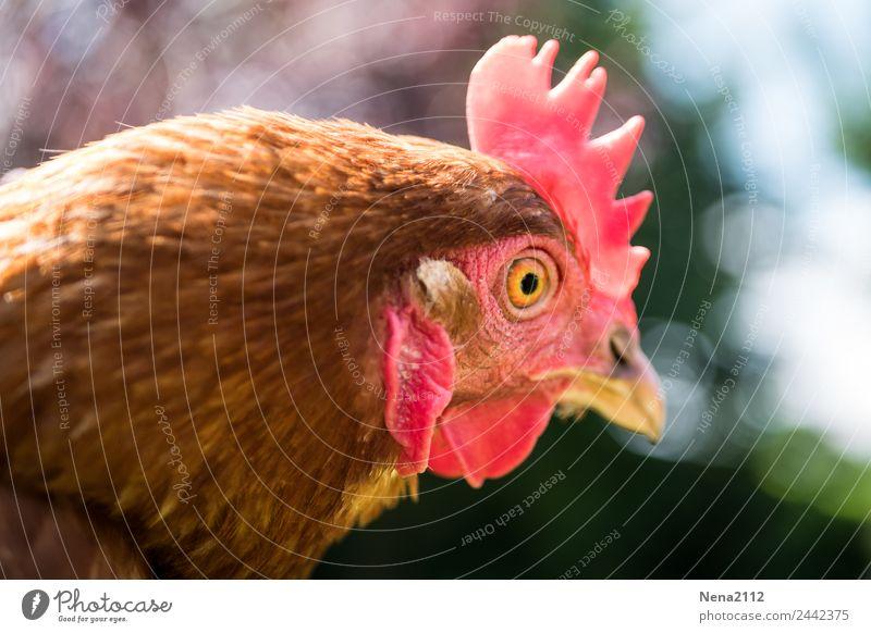 Nullachtfünfzehn | Huhn Tier Tiergesicht Zoo Streichelzoo 1 hocken Blick Aggression lustig rot Nutztier Haushuhn Blick nach vorn Kamm Ei Bioprodukte
