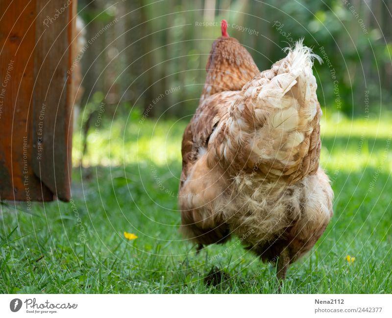 Emotionen | Bockig... Umwelt Natur Garten Wiese Vogel Huhn frech Glück Unendlichkeit Vertrauen Tierliebe Enttäuschung Angst Bauernhof Nutztier Bioprodukte