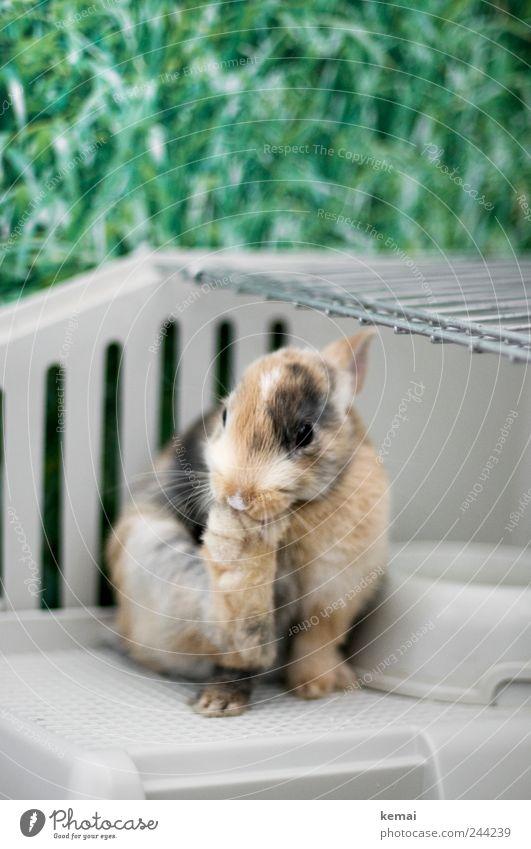 Helmut bei der Pediküre Tier Tierjunges Auge Gras Beine sitzen Tierfuß niedlich Reinigen Fell Tiergesicht Haustier Hase & Kaninchen Reinlichkeit Osterhase Käfig