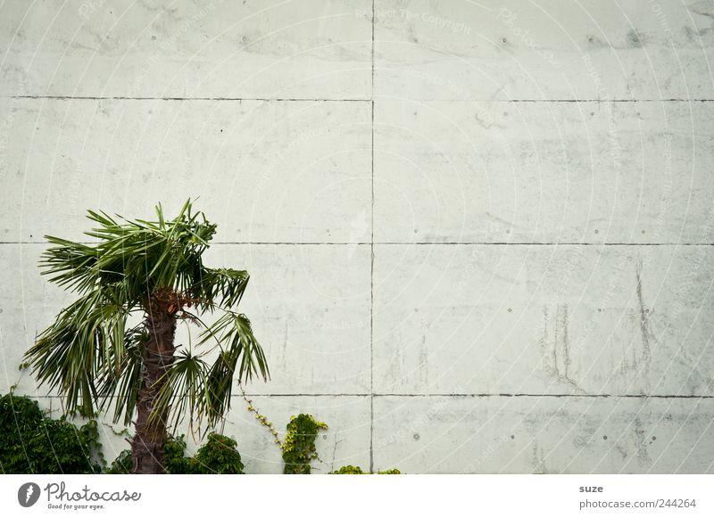 Palma de platta Ferien & Urlaub & Reisen Pflanze grün Einsamkeit Umwelt Wand Traurigkeit Mauer grau Fassade Wachstum trist Klima leer Beton einfach