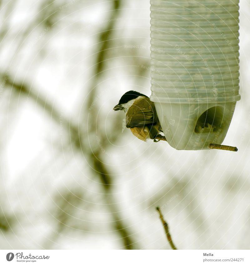 Vorratshaltung Umwelt Natur Tier Ast Zweige u. Äste Vogel Meisen Kohlmeise 1 Fressen hocken sitzen klein natürlich niedlich nachhaltig Überleben Futterplatz