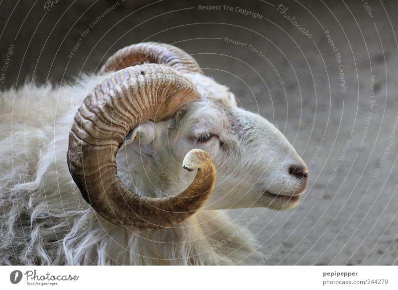 Schafbock Ferien & Urlaub & Reisen Zoo Nutztier Tiergesicht Fell Streichelzoo 1 Gelassenheit Bauernhof Horn Gedeckte Farben Außenaufnahme Nahaufnahme