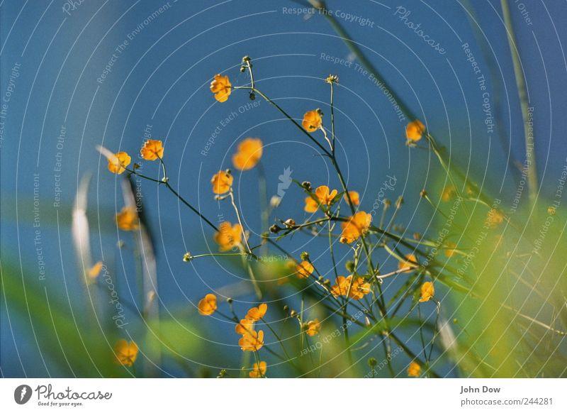 Blümchentapete Himmel Wolkenloser Himmel Pflanze Blume Gras Park Wiese Wachstum blau gelb grün Frühlingsgefühle Vergänglichkeit Blüte Blatt Blühend Blütenstiel