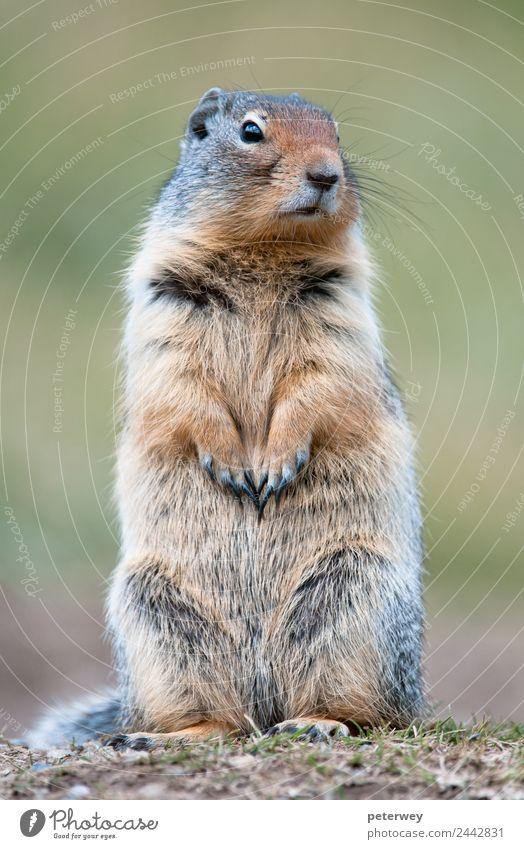 Cute ground squirrel in Banff national park, Canada Natur Tier Ausflug Park niedlich Kanada Nationalitäten u. Ethnien Alberta Banff National Park