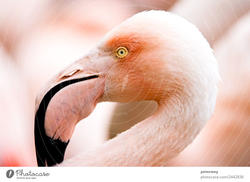 Portait of a flamingo (lat. Phoenicopteridae), captive Natur Tier Hintergrundbild rosa Zoo Flamingo London Eye
