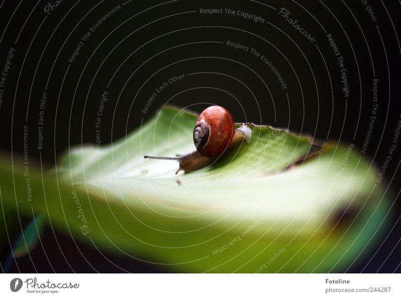 Schneckenexperiment 4 Umwelt Natur Pflanze Tier Sommer Blatt Garten 1 natürlich Schneckenhaus krabbeln schleimig Farbfoto mehrfarbig Textfreiraum oben Tag Licht