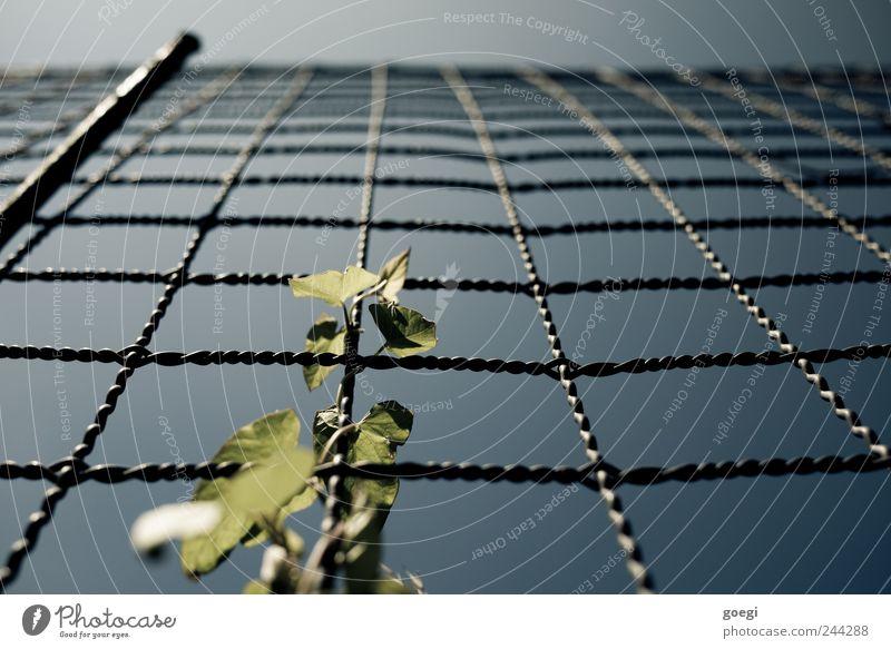 es gibt viel zu tun Himmel Pflanze Blatt Grünpflanze Kletterpflanzen Draht Drahtzaun Zaun Zaunpfahl Metall Wachstum Natur Umwelt verdreht Farbfoto Außenaufnahme