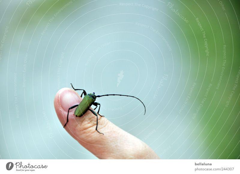 Moschusbock auf Fotolines Finger Mensch androgyn Erwachsene 1 Natur Sommer Garten Park Feld Tier Wildtier Käfer sitzen Insekt grün Farbfoto mehrfarbig