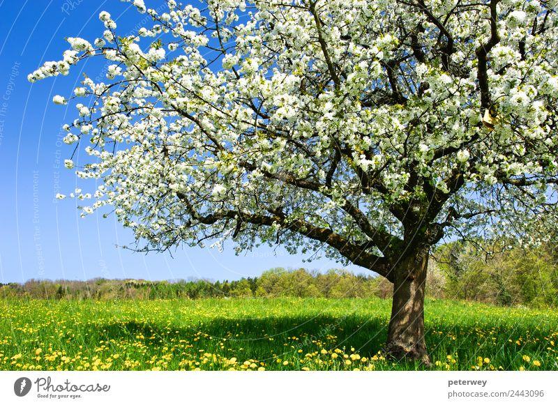Blossoming tree in spring on rural meadow Natur Pflanze Frühling Schönes Wetter Baum Blume Gras Feld springen Fröhlichkeit schön blau braun gelb grün weiß