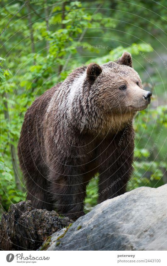 brown bear (lat. ursus arctos) stainding in the forest Ausflug Natur Park Wildtier Fell 1 Tier wild braun Kraft Tierliebe gefährlich Abenteuer animal beast
