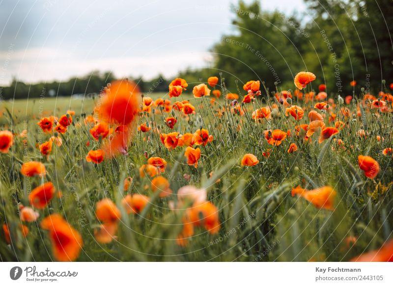 Mohnblumenfeld harmonisch Wohlgefühl Erholung Ferien & Urlaub & Reisen Ausflug Freiheit Sommer Sommerurlaub Umwelt Natur Landschaft Pflanze Wärme Blume Mohnfeld