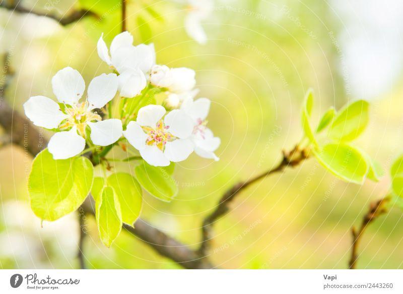Blütenbirnenbaum mit weißen Blüten schön Garten Umwelt Natur Frühling Baum Blume Blatt hell natürlich neu weich blau gelb grün Farbe Birnbaum Hintergrund