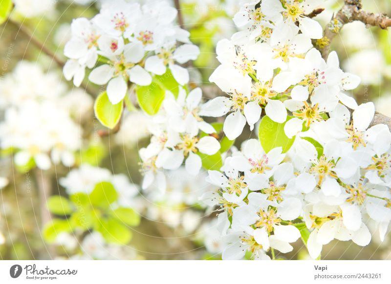 Blütenbirnenbaum in weißen Blüten schön Garten Umwelt Natur Frühling Baum Blume Blatt hell natürlich neu weich blau gelb grün Farbe Birnbaum Hintergrund