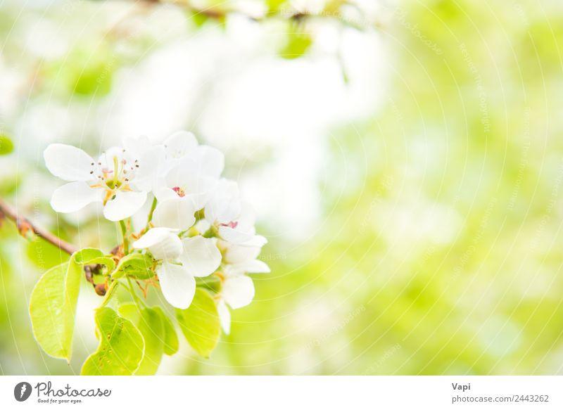 Blütenbirnenbaum in weißen Blüten schön Sommer Garten Umwelt Natur Frühling Baum Blume Blatt hell natürlich neu weich blau gelb grün Farbe Birnbaum Hintergrund
