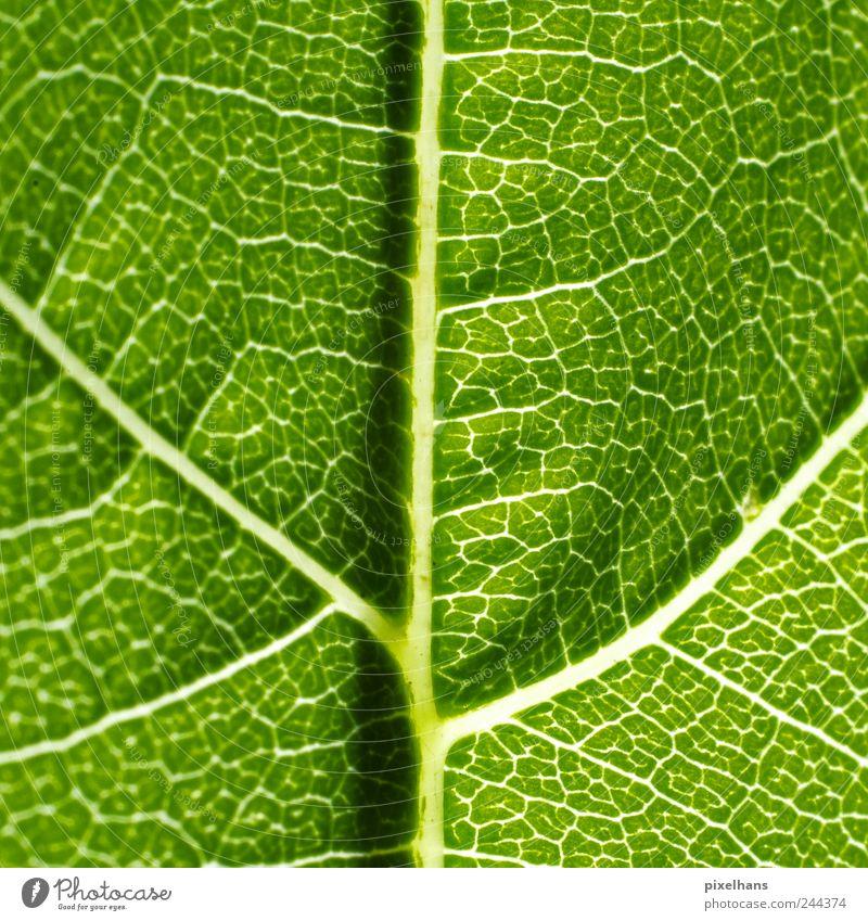 Photosynthesis Natur Pflanze Blatt Grünpflanze Strukturen & Formen Blattadern Weinblatt Photosynthese Farbfoto Detailaufnahme Makroaufnahme Menschenleer