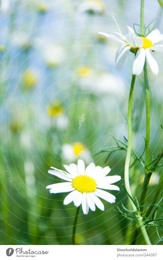Please pick me please Umwelt Natur Pflanze Frühling Sommer Schönes Wetter Blume Blüte Nutzpflanze Kamille Kamillenblüten Garten Wiese Blühend Fröhlichkeit