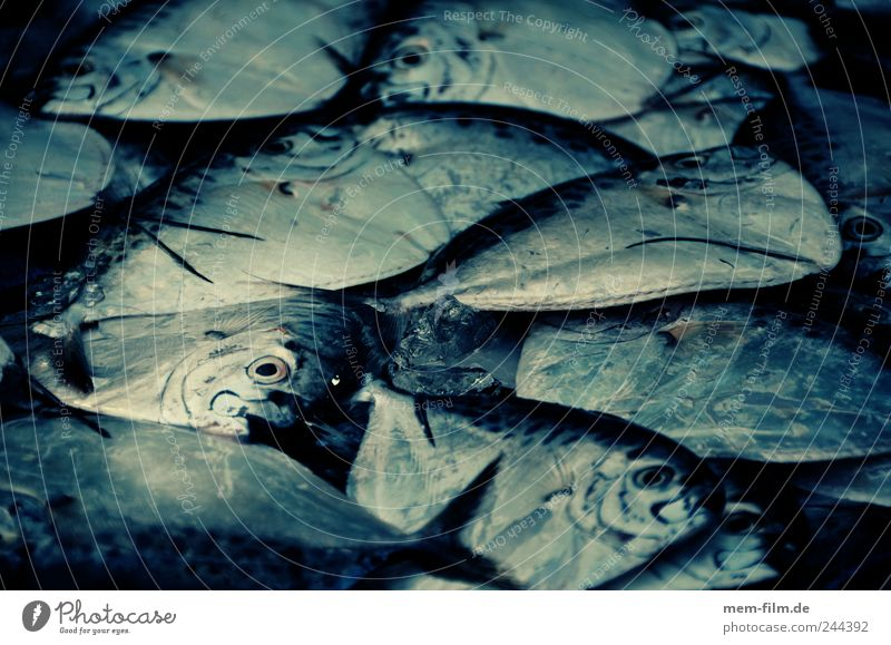 wie die fische Meer Fisch Fisch Kochen & Garen & Backen Fischereiwirtschaft Meeresfrüchte Medien Tier Lebensmittel Fischmarkt Kochbuch Dorade Fischbrötchen Überfischung