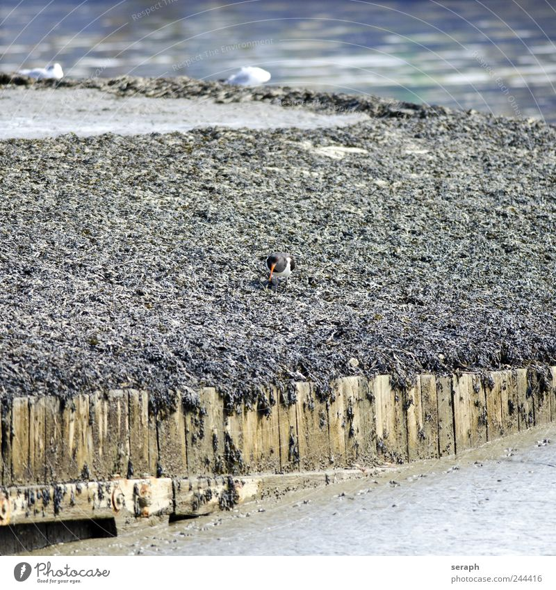 Austernfischer Natur Wasser Strand Meer Tier Küste Vogel laufen Flügel wild Nordsee Schnabel Schlamm maritim Panzer Hochwasser