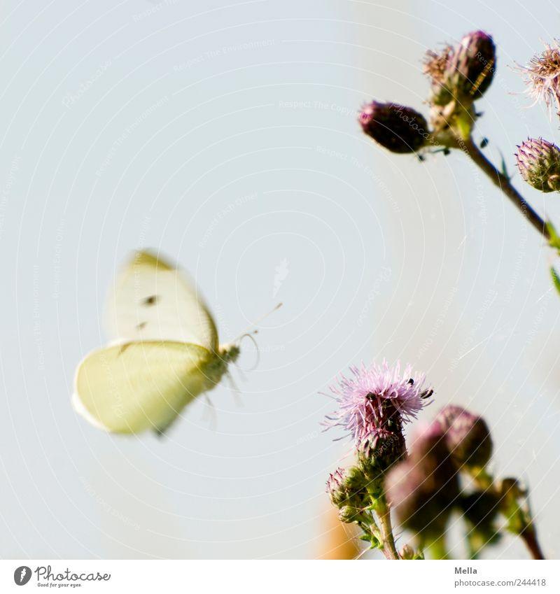 Neuer Tag, neues Glück Natur schön Pflanze Tier Freiheit Umwelt fliegen frei natürlich Schmetterling Blühend Distel Weißlinge Distelblüte