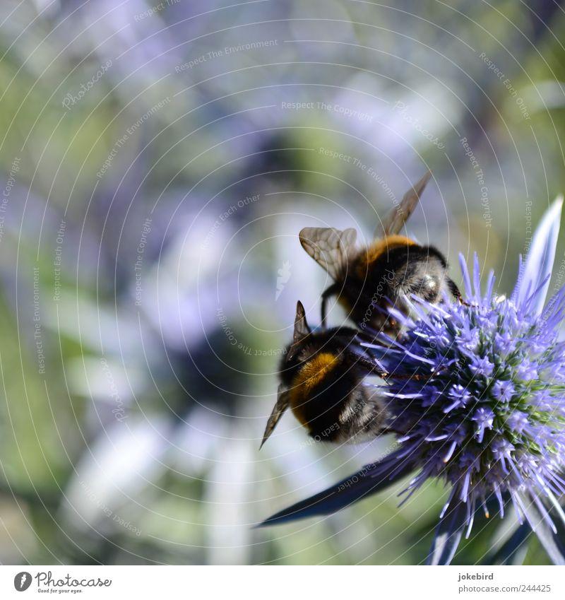 zusammen abhängen Blume Sommer Tier Arbeit & Erwerbstätigkeit Blüte Zusammensein Tierpaar sitzen weich violett Flügel Hinterteil Insekt zart Fell Blühend