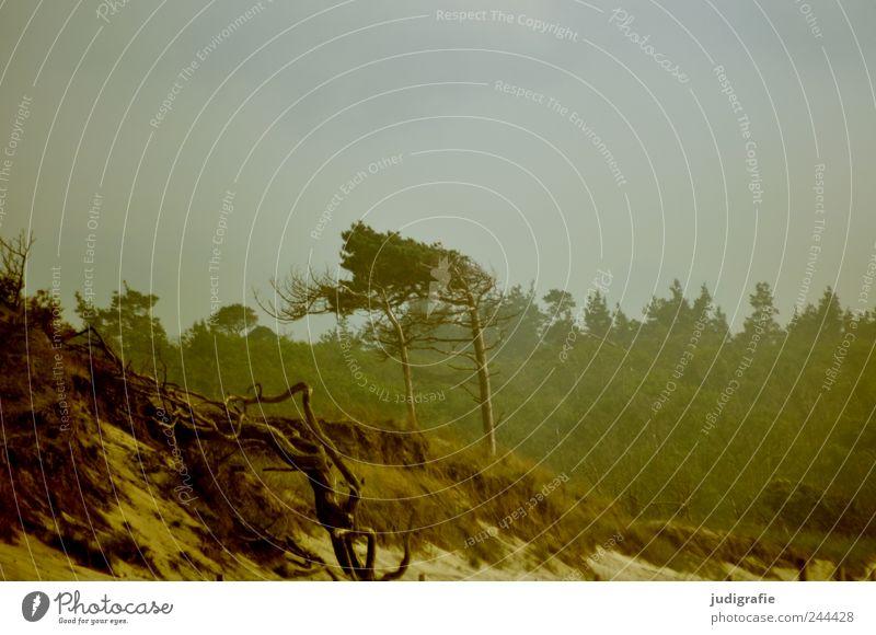 Weststrand Umwelt Natur Landschaft Pflanze Klima Baum Küste Strand Ostsee Meer Stranddüne natürlich wild Stimmung Windflüchter Darß Farbfoto Gedeckte Farben