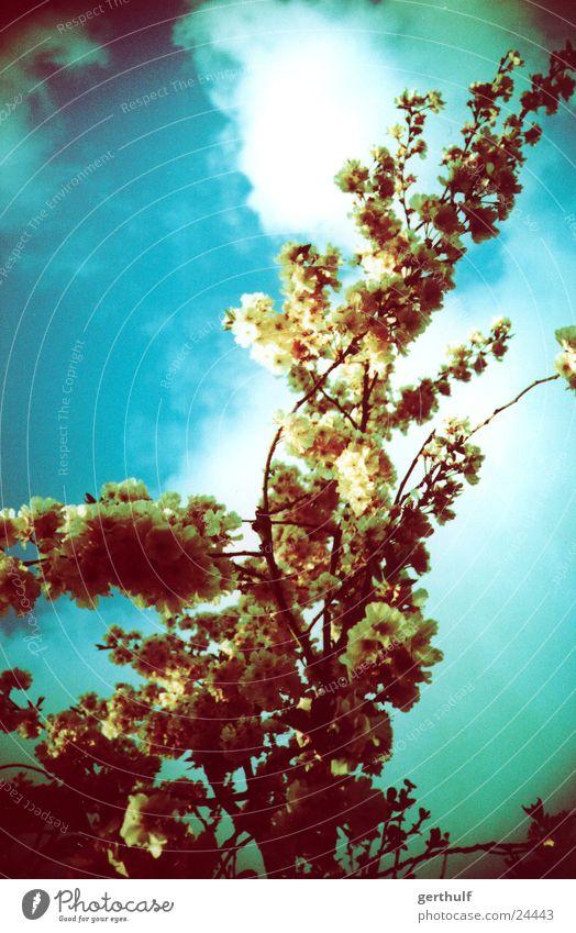 Green Tree Blühend Blüte grün gelb Wolken Ast Blauer Himmel x-processed Cross Processing falschfarben nach oben schauend