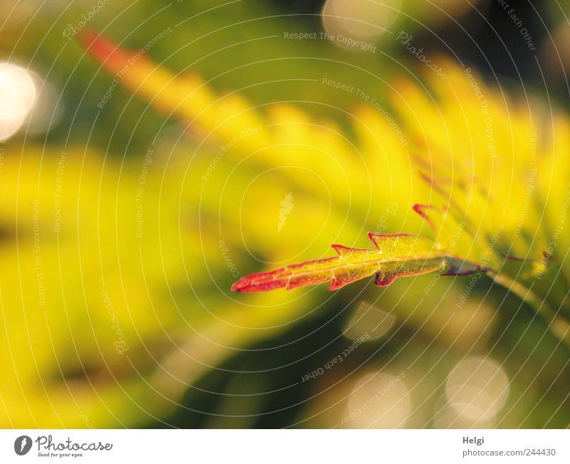 im Sonnenlicht... Natur grün rot Pflanze Sommer Blatt gelb Leben Garten Umwelt glänzend frisch ästhetisch Wachstum Sträucher nah