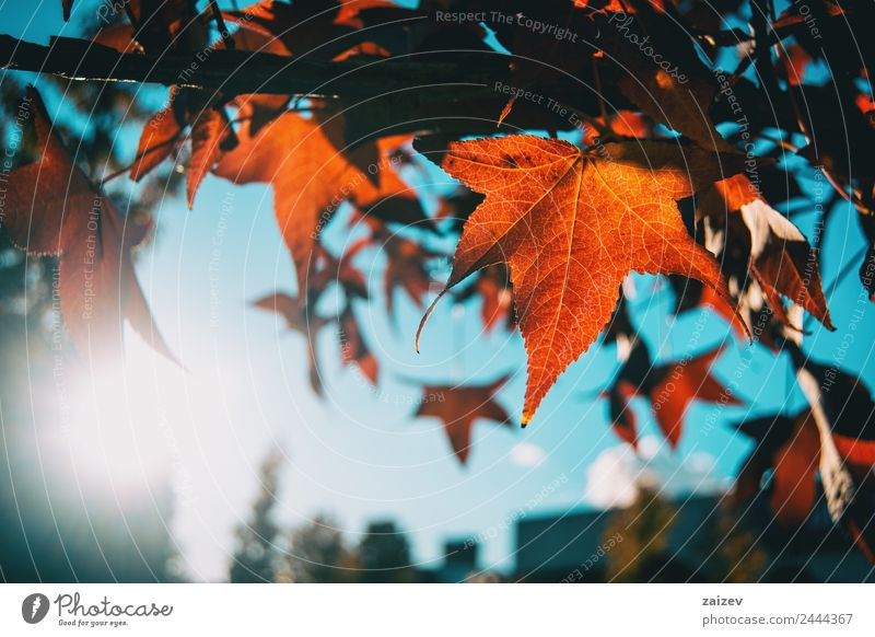 Rote Ahornblätter im Herbst schön Sonne Winter Berge u. Gebirge Garten Umwelt Natur Pflanze Himmel Baum Blatt Grünpflanze Nutzpflanze Wildpflanze Park Wiese
