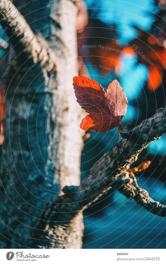 kleine rote Ahornblätter im Herbst schön Sonne Winter Berge u. Gebirge Garten Umwelt Natur Pflanze Himmel Baum Blatt Grünpflanze Nutzpflanze Wildpflanze Park