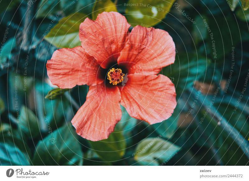 große und rote Hibiskusblume schön Sommer Garten Umwelt Natur Pflanze Blume Sträucher Blatt Blüte Grünpflanze Wildpflanze Park Wiese Feld Wald natürlich wild