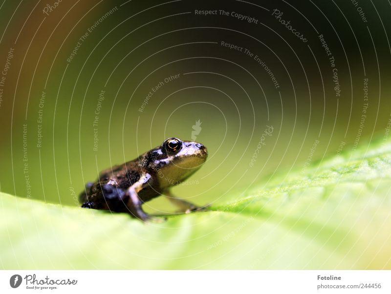 Küss mich! Ich bin ein verzauberter Prinz! Umwelt Natur Pflanze Tier Sommer Blatt Garten Wildtier Frosch Tiergesicht 1 hell nah nass natürlich braun grün