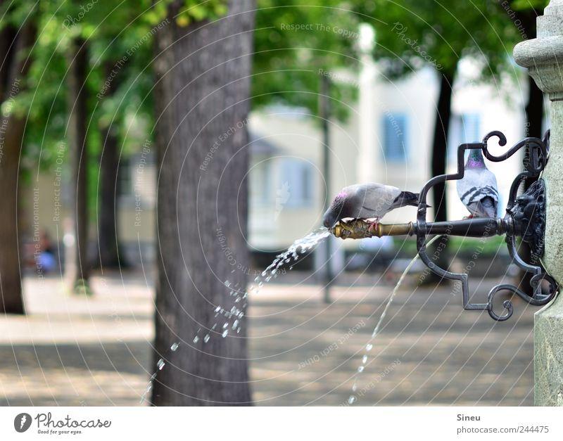 How to keep a cool head ... Wasser Baum Sommer Tier Park Wassertropfen sitzen trinken Schwimmen & Baden Brunnen heiß Baumstamm Taube Erfrischung Durst