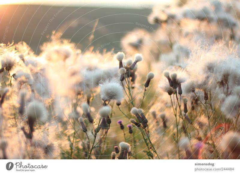 flauschig Pflanze Wolken ruhig Erholung Wiese Gras Blüte Bewegung Beleuchtung Sträucher weich Warmherzigkeit leuchten Idylle Blühend Duft