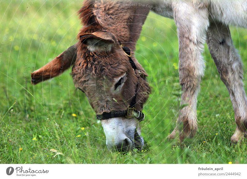 Das beste Gras - UT Dresden Umwelt Natur Wiese Tier Nutztier Esel 1 Fressen Freundlichkeit frisch braun grün Gelassenheit Leben Lebensfreude Zufriedenheit