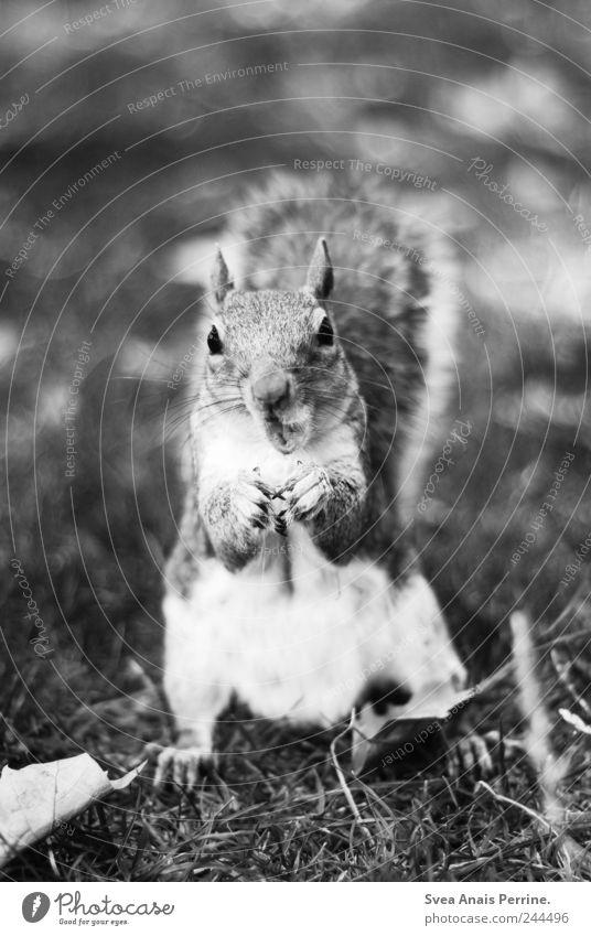 . Wiese Park Tier Wildtier Eichhörnchen 1 füttern Schwarzweißfoto Außenaufnahme Menschenleer