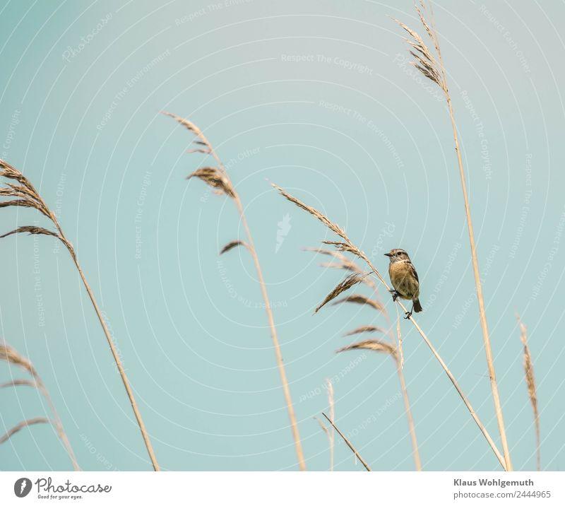 Kein Rohrspatz Natur Sommer blau Tier Umwelt Frühling Wiese Vogel grau braun Feld sitzen beobachten Neugier Schilfrohr
