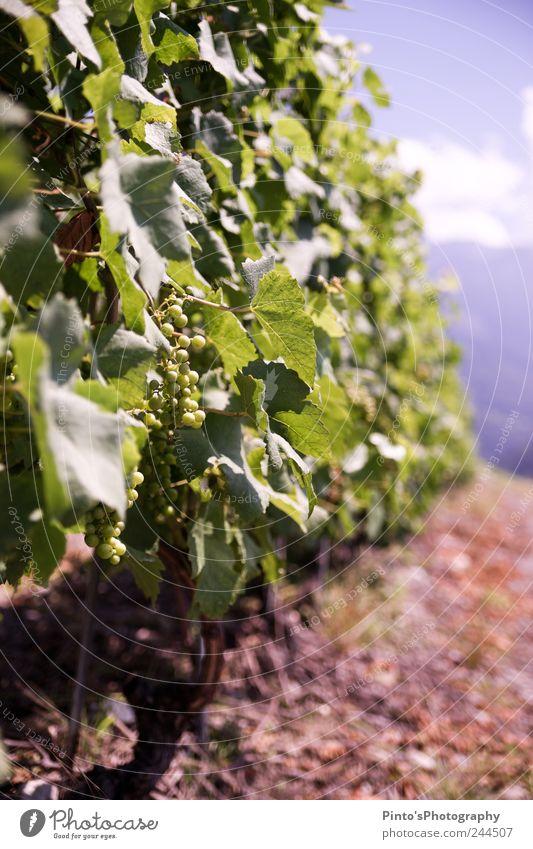 Weintrauben Natur Sommer Schönes Wetter Hügel schön grün Farbfoto Außenaufnahme Tag Sonnenlicht Starke Tiefenschärfe Zentralperspektive