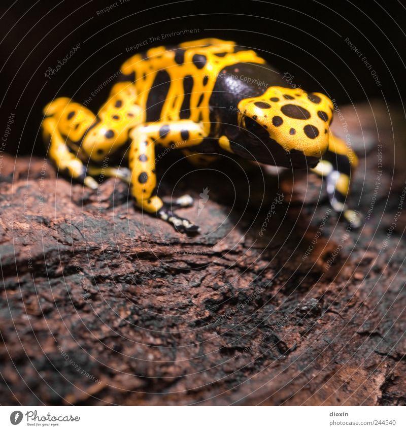 Dendrobates leucomelas Natur Baum Tier schwarz gelb sitzen Urwald Frosch Gift Baumrinde Baumstamm Lebensgefahr Pflanze Warnfarbe signalgelb Pfeilgiftfrosch