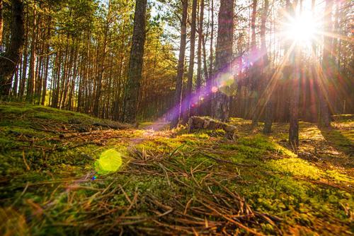 Kiefernwald im Gegenlicht Natur schön Sonne Baum Wald Hintergrundbild Frühling Moos