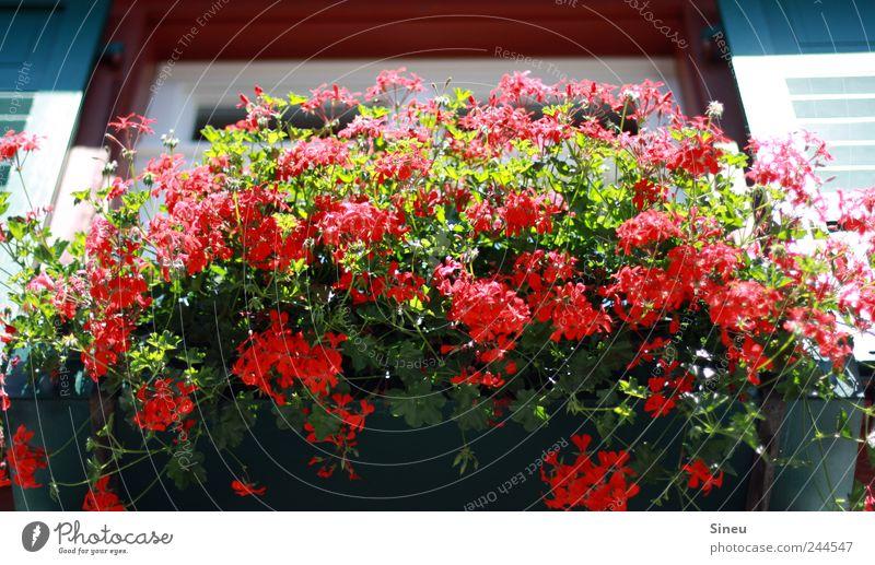 Fenster mit Blumen Sonnenlicht Sommer Schönes Wetter Balkonpflanze Pelargonie Haus Blühend Duft verblüht frisch heiß rot Ordnung Häusliches Leben Farbfoto
