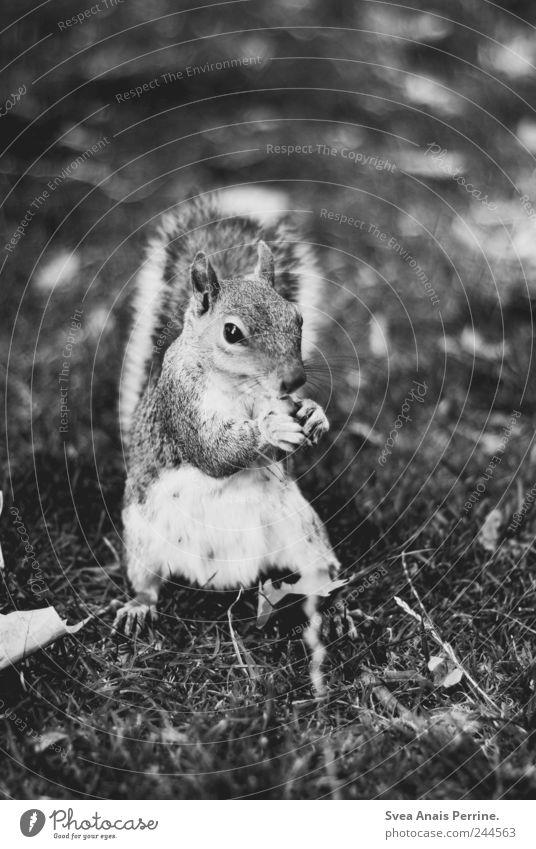 grauhörnchen. Park Wiese Tier Wildtier Eichhörnchen 1 Schwarzweißfoto Außenaufnahme Menschenleer Tierporträt