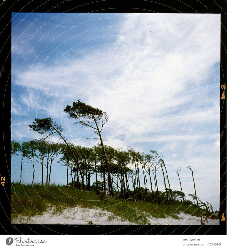 Weststrand Umwelt Natur Landschaft Pflanze Himmel Wolken Klima Wind Baum Wald Küste Ostsee Darß kalt natürlich wild blau Windflüchter Farbfoto Menschenleer