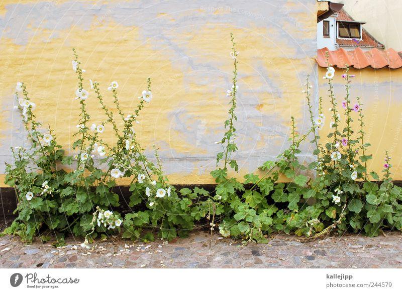 mauerblümchen Pflanze Blume Wand Fenster Mauer Fassade Wachstum Dach Häusliches Leben Dorf Dänemark Altstadt Dachziegel Dachrinne Fischerdorf Stockrose
