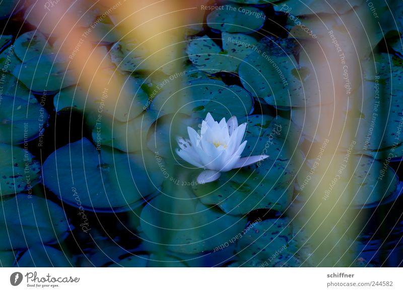 Trauerflor Natur Pflanze Blatt Blüte Teich See Blühend Tod Abschied Traurigkeit Unschärfe Seerosen Seerosenblatt Seerosenteich Vergänglichkeit Anmut verblüht