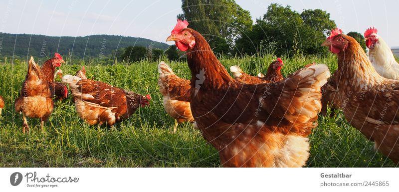 Freilaufende Hühner auf grüner Wiese Natur Sommer Landschaft rot Tier Gesundheit Lebensmittel Frühling Glück Gras Zusammensein braun ästhetisch Idylle