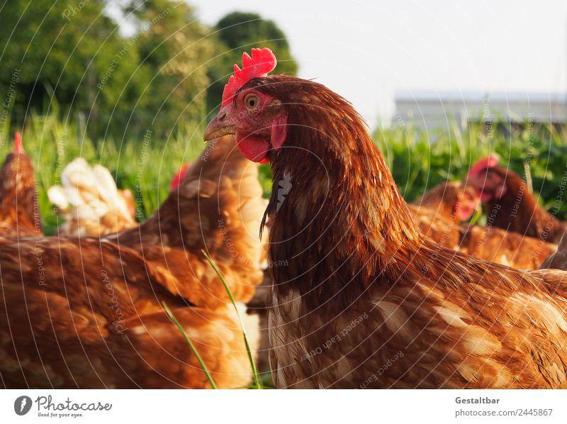 Freilaufende Hühner auf einer Wiese Natur grün rot Tier Gesundheit Lebensmittel Umwelt Glück braun Zufriedenheit Ernährung Idylle Tiergruppe Flügel beobachten