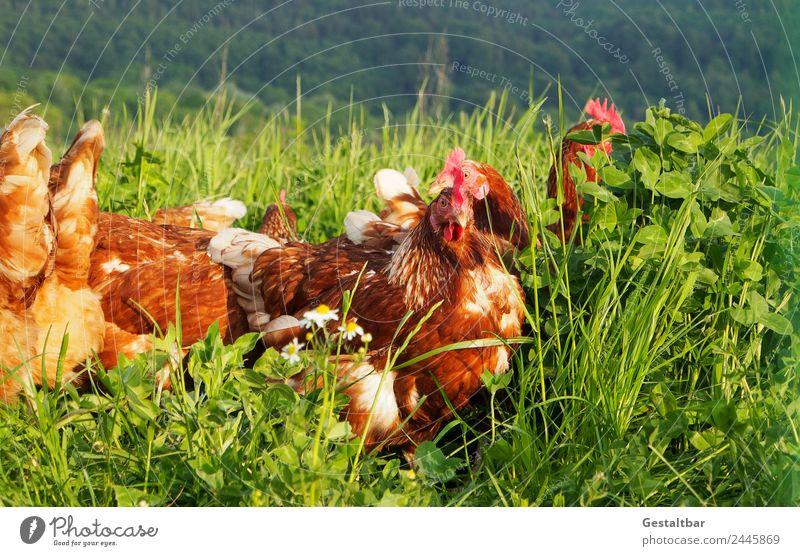 Freilaufene Hühner auf grüner Wiese Natur Tier Gesundheit Lebensmittel Glück Zusammensein braun Zufriedenheit Idylle Tiergruppe Flügel beobachten Bioprodukte