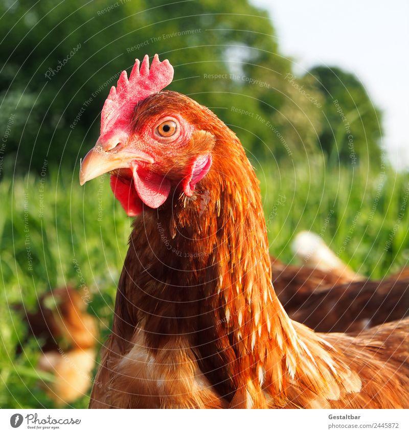 Freilaufendes Huhn auf grüner Wiese Lebensmittel Fleisch Bioprodukte Gesundheit Tier Nutztier Vogel 1 Tiergruppe beobachten Blick Glück Tierliebe Neugier Idylle