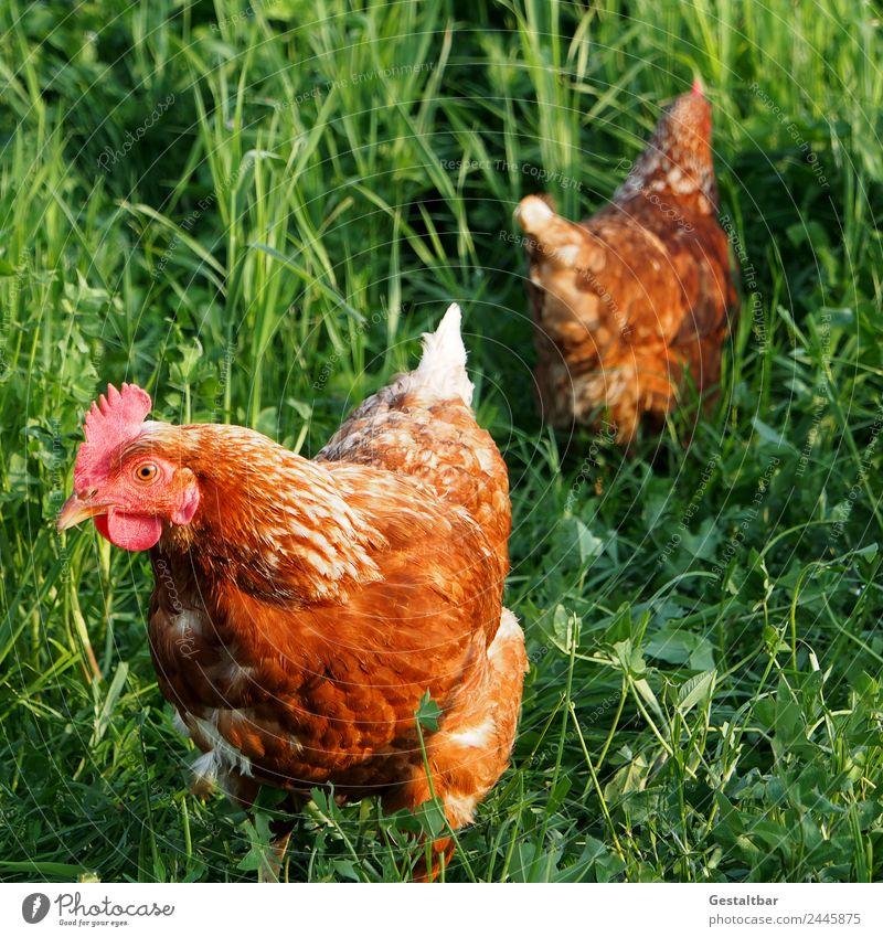Freilaufendes Huhn auf grüner Wiese Fleisch Suppe Eintopf Bioprodukte Tier Nutztier Haushuhn 2 Gesundheit Glück braun Vertrauen Tierliebe Wachsamkeit Natur