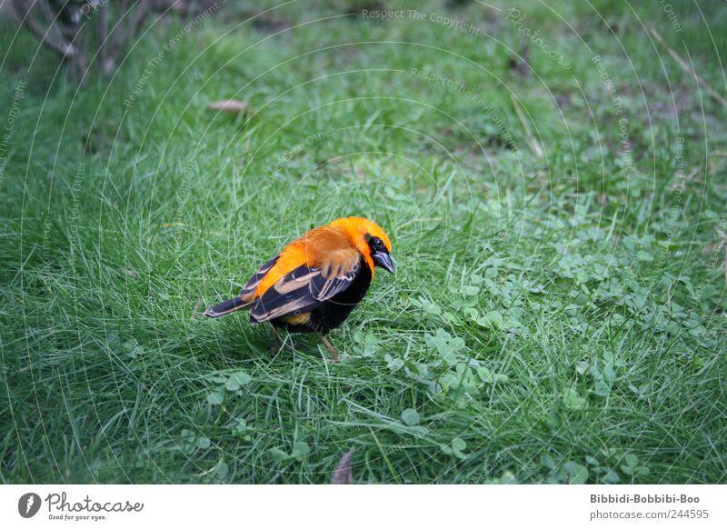 in Freiheit...oder doch nicht?! Tier Wildtier Vogel Zoo 1 exotisch Wiese orange Farbfoto Außenaufnahme Nahaufnahme Menschenleer Textfreiraum links